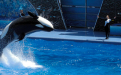 A trainer guiding a whale during a show at SeaWorld.